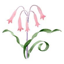 Albuca Canadensis Floral Botanical Flower. Watercolor Background Set. Isolated Albuca Illustration Element.