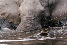 Close Up Of Elephant Taking Bath In River