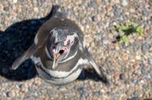 Magellanic Penguin With His Beak Open For Temperature Regulation