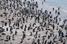 Numerous Magellanic Penguins At The Beach