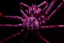 Marine Creature - Spider Crab