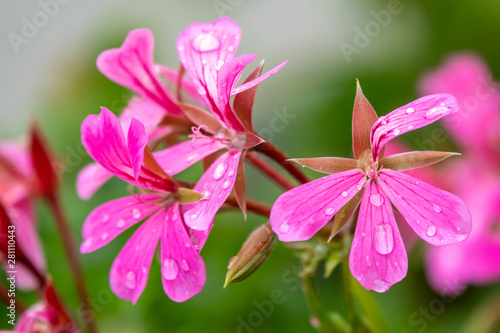 Photo Beautiful pink geranium flowers. Flowers Pelargonium graveolens