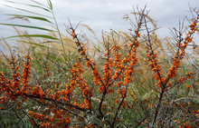 Buckthorn Berries In A Nature Reserve