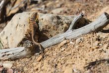 Collared Lizard In Arid Desert...