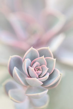 Macro Photo Of An Echeveria Succulent