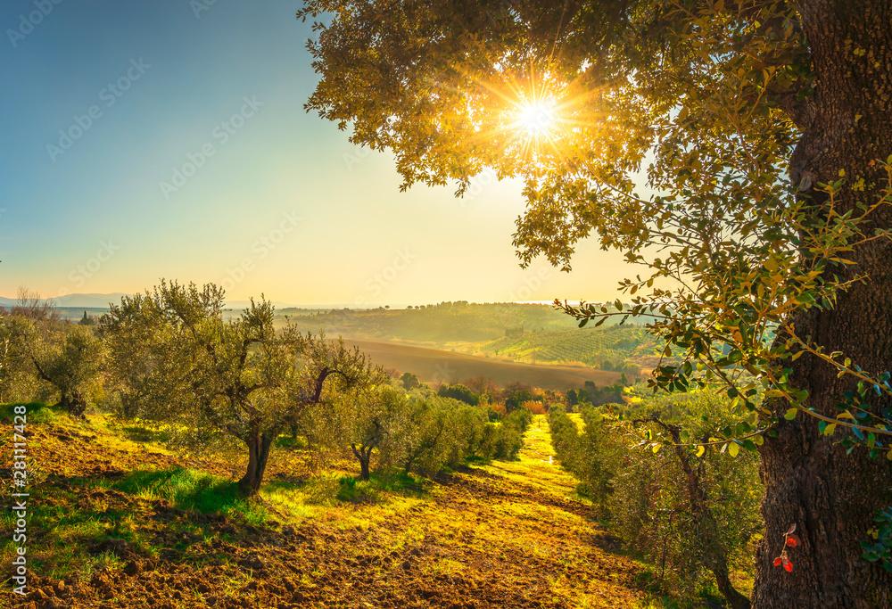 Fototapeta Maremma countryside panorama and olive trees on sunset. Casale Marittimo, Pisa, Tuscany Italy