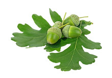 Green Acorns And Oak Leaves Is...