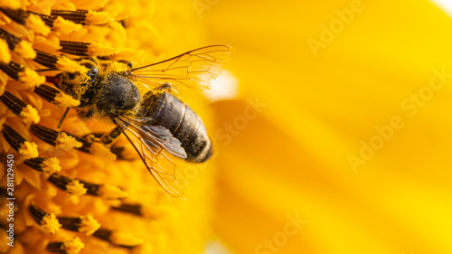 Photo Stands Bee Bee in a yellow pollen, collects sunflower nectar