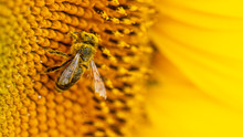Bee In A Yellow Pollen, Collec...