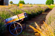 Lavender Gardens, Lavender Cultivation Nature