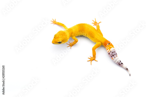The common leopard gecko isolated on white background Tableau sur Toile