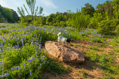 Black and white Chihuahua on large rock surrounded by Bluebonnets