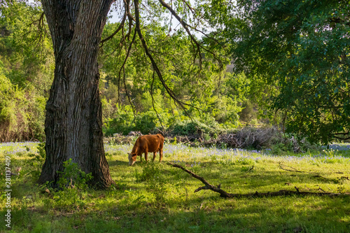 Brown colored cow grazing in Bluebonnet field with trees and blue sky in background