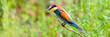 Leinwandbild Motiv European bee-eater or Merops apiaster is sitting on a twig
