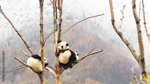 Three cute Giant panda cubs sleeping in the tree, Wulong, China Fototapeta