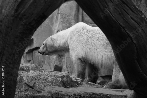 Fototapeta The polar bear (Ursus maritimus) is a bear native largely within the Arctic Circle encompassing the Arctic Ocean, its surrounding seas and surrounding land masses. obraz na płótnie