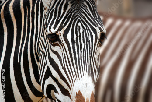 Fototapeta The Grevy's zebra (Equus grevyi), also known as the imperial zebra, is the largest living wild equid and the largest and most threatened of the three species of zebra obraz na płótnie