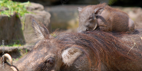 Photo  Warthog or Common Warthog nose and teeth (Phacochoerus africanus) is a wild memb