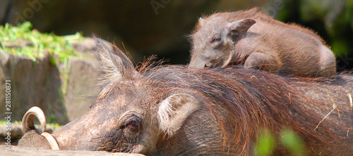 Warthog or Common Warthog nose and teeth (Phacochoerus africanus) is a wild memb Wallpaper Mural