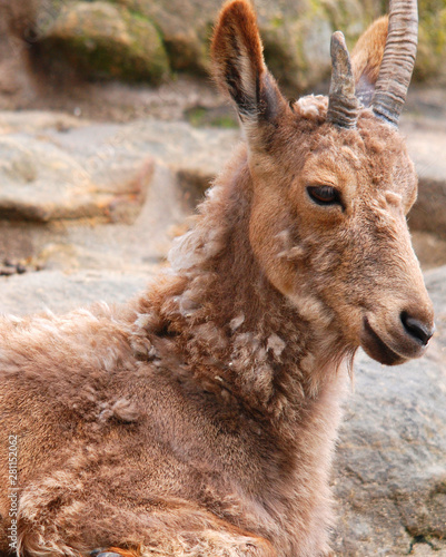 Tahrs are a species of large Asian artiodactyl ungulates related to the wild goat Canvas Print