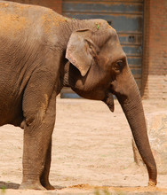 Asian Elephant (Elephas Maximu...