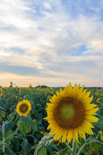 Foto auf Gartenposter Landschappen 夕暮れ時のひまわり園 Sunflower garden at sunset 福岡県柳川市