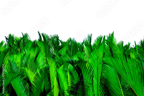Nypa fruticans Wurmb (Nypa, Atap palm, Nipa palm, Mangrove palm). Green leaves of palm isolated on white background. Green leaf for decoration in organic products. Tropical plant. Green exotic leaf. - 281166076