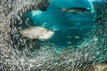 A Huge School Of Silverrsides Which Are Small Fish Have Inhabited A Cavern In The Cayman Islands. Their Abundance Of Life Attracts Bigger Fish Like Tarpon Who Spend The Day Feeding On The Small Fish