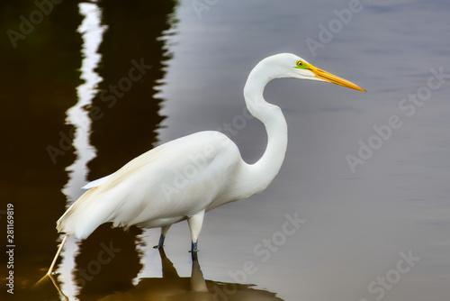 A closeup of a great white egret wading in a salt-marsh. Wallpaper Mural