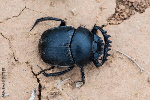 Fotografia The Scarab Beetle Scarabaeus typhon