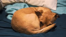 Cute Chihuahua Puppy Dog Under Blanket Revealed And Wags Tail, Soft Focus