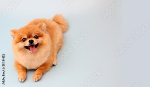 Obraz Pomeranian dog with blue backdrop.   - fototapety do salonu