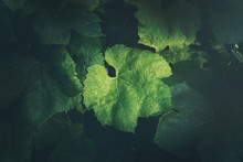 Grape Leaves Background
