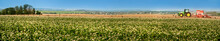 Great Panorama Of Buckwheat Blossom Field With Cloudly Sky And With Tractor On Horizon