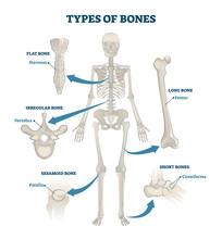 Types Of Bones Vector Illustration. Labeled Anatomical Skeleton Set Scheme.