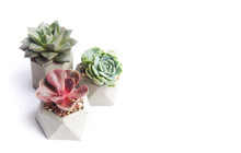 Collection Of Multicolored Succulents In Concrete Pots. Echeveria Different Flowers. Isolated Succulent Flower In White Background. Cement Original Pot With House Plant.