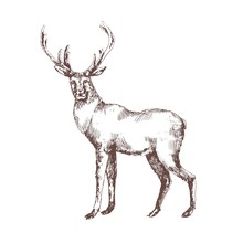 Red Deer Hand Drawn With Conto...