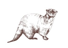 Eurasian Otter Hand Drawn With...