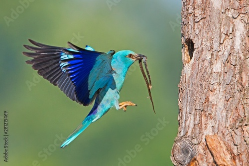 Recess Fitting Bird European roller, Coracias garrulus, landing on bark of tree in summer with copyspace. Blue bird with a snake in beak from side view. Wild animal with blurred background.