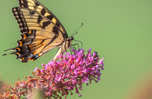 Papilio Glaucus, Eastern Tiger Swallowtail,
