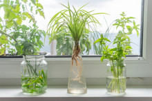 Indoor Window Planting Rooting In Glass Bottle Fibrous Roots Grow