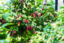 Logan Berries Ripening On The ...