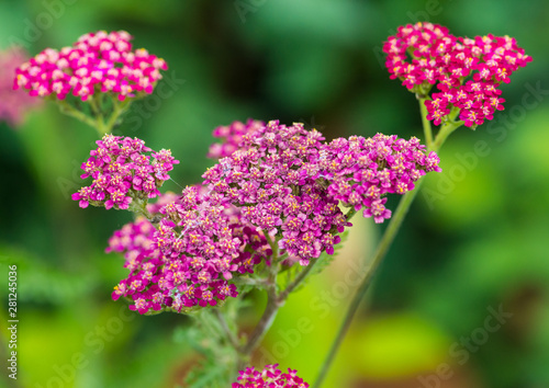 Achillea Cassis Buy This Stock Photo And Explore Similar Images