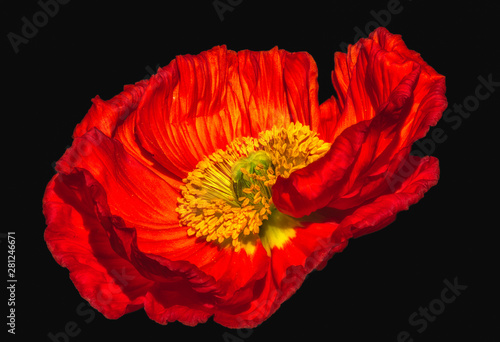surrealistic vibrant glossy red satin/silk poppy macro,black background with detailed texture in vintage painting style - 281246671