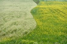 Buckwheat Rape Field Flowers W...