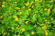 Greater Celandine (Chelidonium Majus, Tetterwort, Nipplewort Or Swallowwort, St John's Wort).