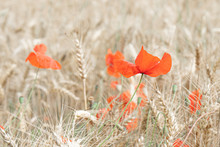 Red Poppies On The Background Of A Wheat Field.