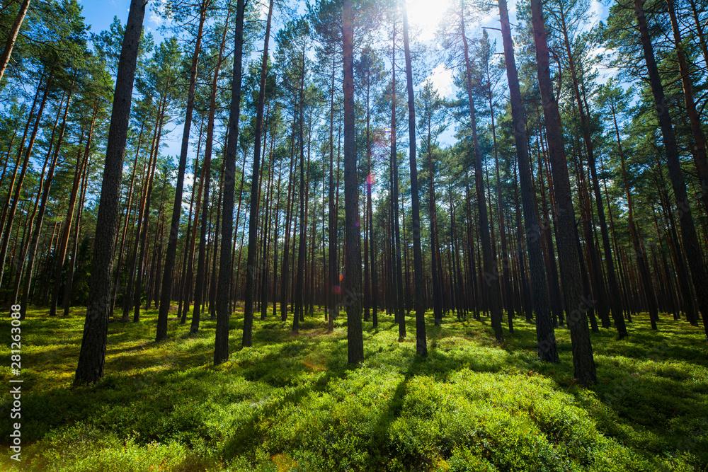 Fototapeta Las światło lato krajobraz cisza