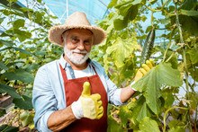 Portrait Of A Happy Senior Man Growing Cucumbers In The Hothouse On A Small Agricultural Farm. Concept Of A Small Agribusiness And Work At Retirement Age