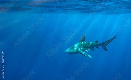 Fotomural Bull Shark in Florida